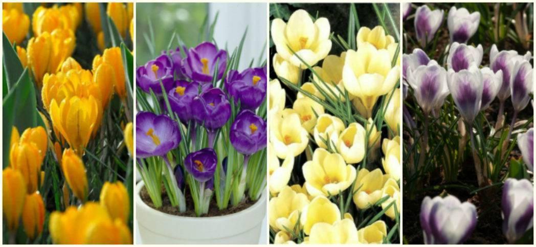 Как вырастить цветок крокус вдомашних условиях: фото сортов иправила ухода