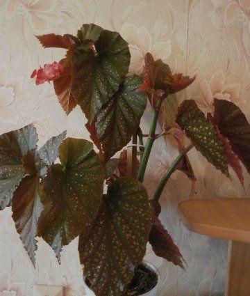 Декоративно-лиственные бегонии (29 фото): уход за листовой бегонией в домашних условиях. описание популярных сортов. способы размножения