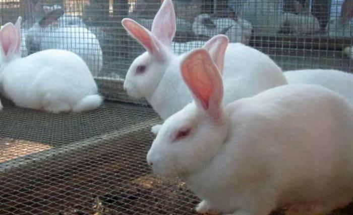 Основные причины и лечение вздутия живота у кроликов