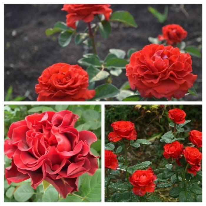 Роза эль торо: описание и фото сорта, рекомендации по уходу и размножению