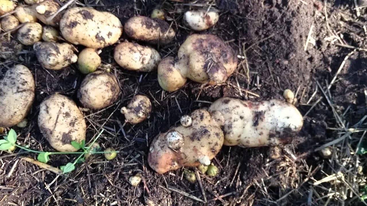 Сорт картофеля «никулинский» характеристика, описание, урожайность, отзывы и фото
