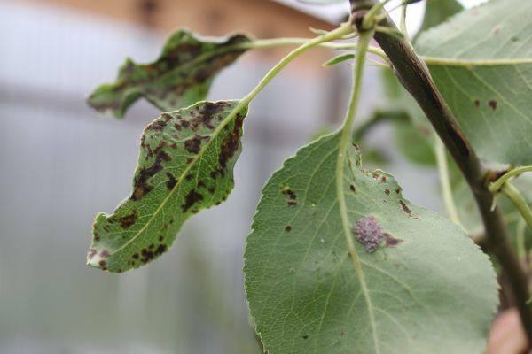 Описание болезней груши и способов их лечения
