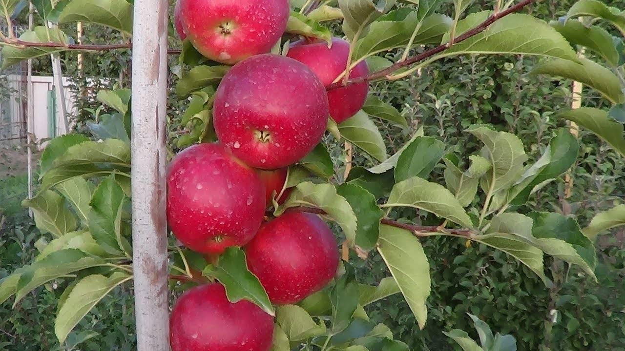 Яблоня лигол: описание сорта, фото, отзывы садоводов