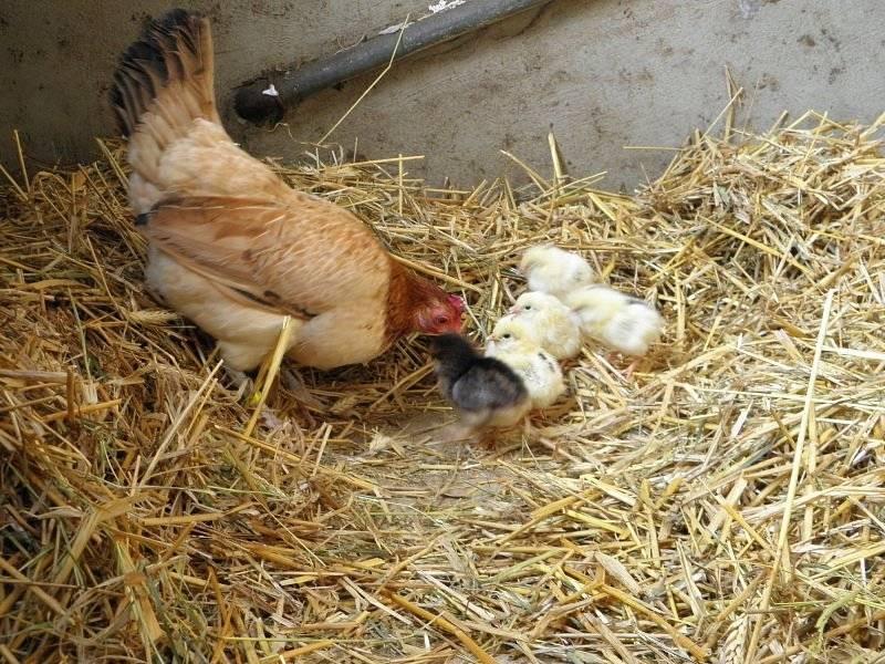 Цыплята бройлеры — выращивание, уход и особенности содержания в домашних условиях