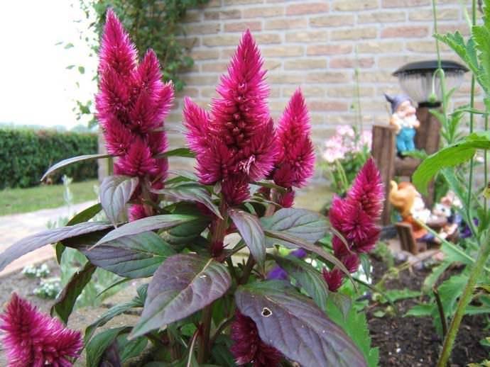 Декоративный амарант: выращивание и уход в домашних условиях