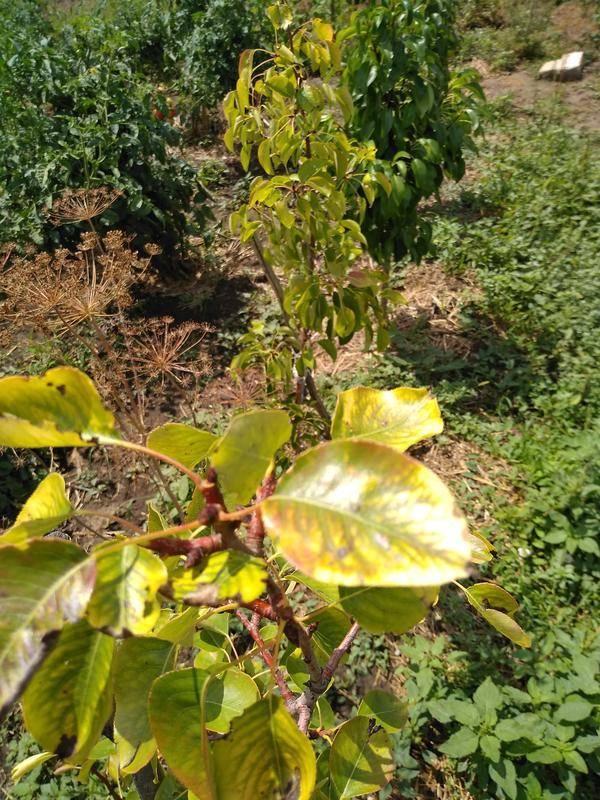 Почему у яблони желтеют листья, что делать и чем лечить? советы профессионалов