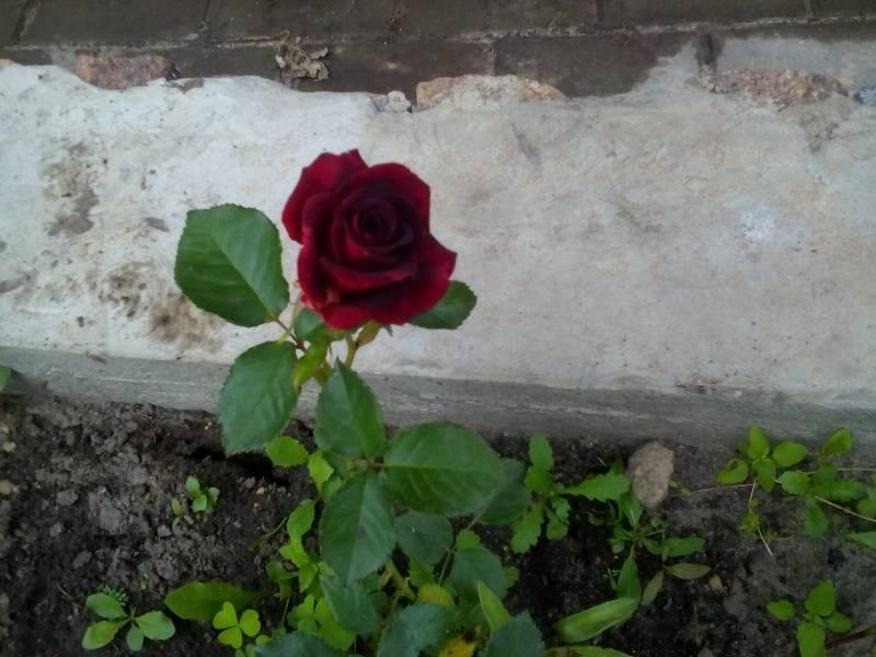 Роза блэк баккара самая черная роза