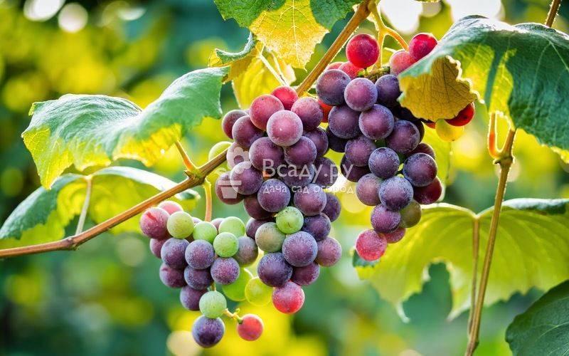 Опыт выращивания винограда в сибири - сад