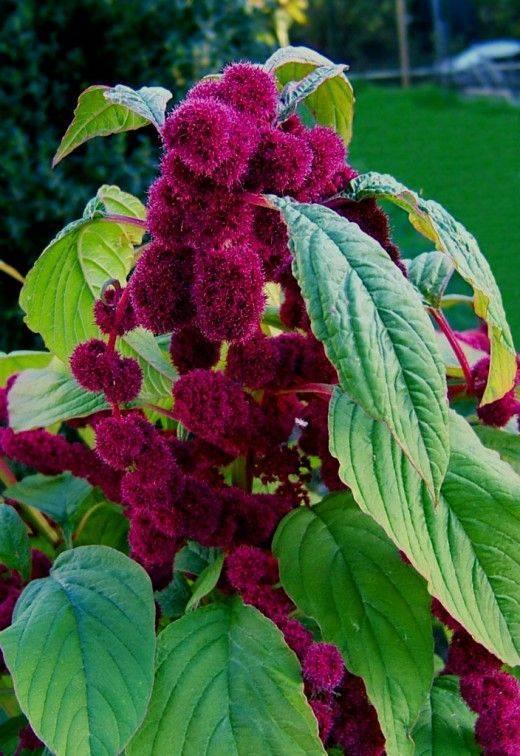 Как выращивать амарант из семян и в какое время сажать в грунт