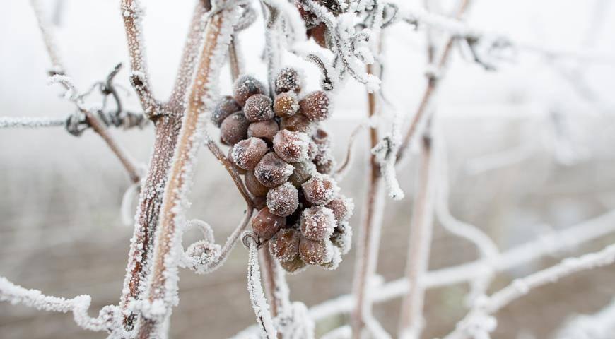Когда открывать виноград весной после зимовки