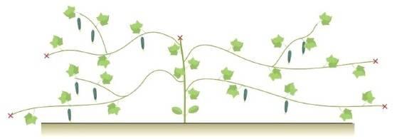 Как прищипывать тыкву и технология выращивания после