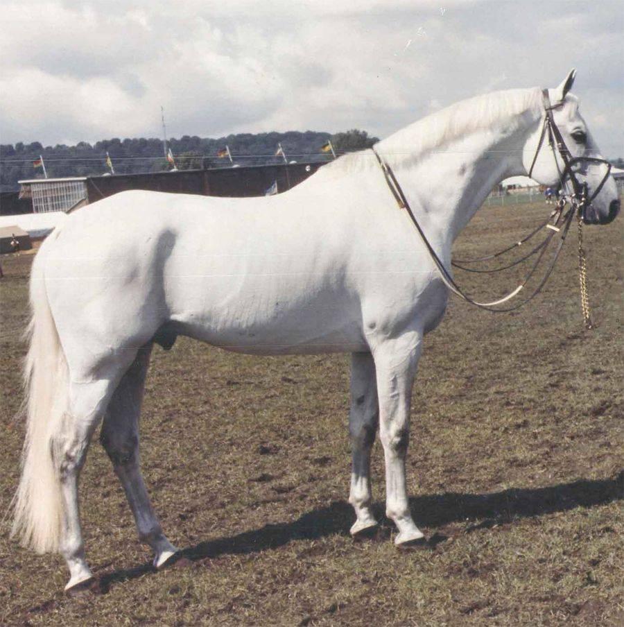 Сфера применения тракененской породы лошадей