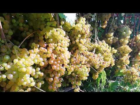 Виноград коринка русская — разбираемся в общих чертах
