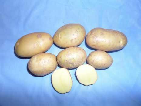 Сорт картофеля «уладар»: характеристика, описание, урожайность, отзывы и фото