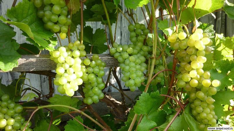 Виноград «кристалл»: характеристика и уход