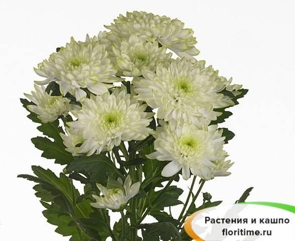 Выращивание кустовой хризантемы зембла: как ухаживать в саду, популярные сорта