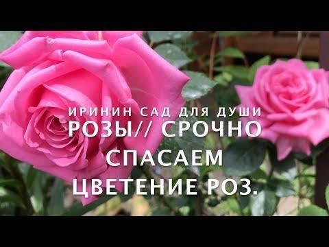 Розы почему не цветут: выяснение и устранение причин