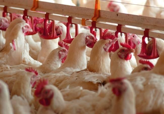Как выявить сальмонеллез у кур: методы борьбы с заболеванием