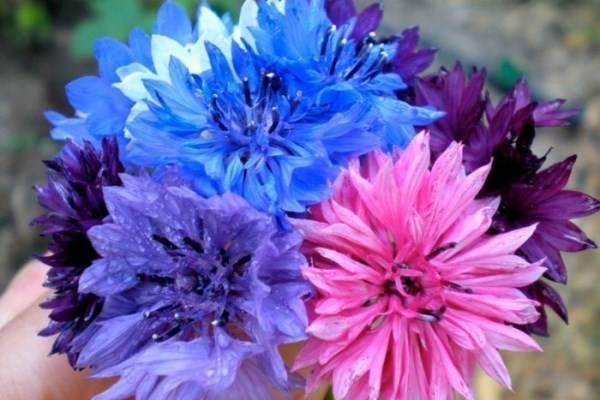 Цветок василек – как правильно сажать, особенности ухода и выращивания в домашних условиях