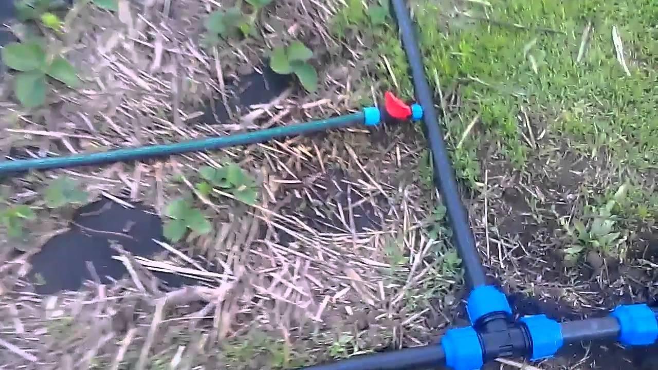 Как поливать клубнику, чтоб получить обильный урожай