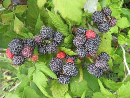 Черная малина: описание, посадка и уход