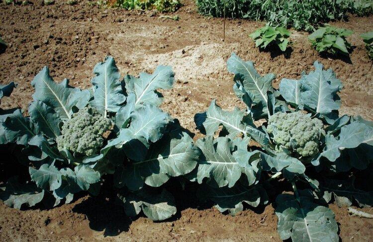 Как посадить и вырастить брокколи на огороде?