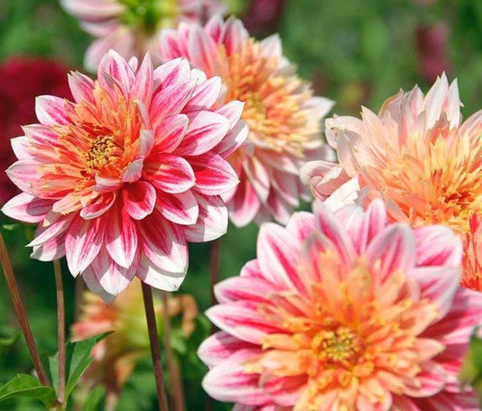 Подготовка, проращивание, высаживание клубней георгинов: инструкция по выращиванию здоровых цветов