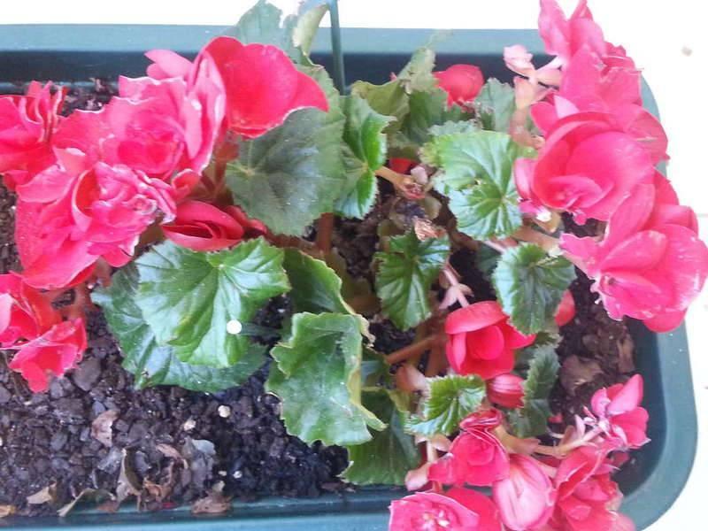 Комнатная фуксия - выращивание, уход и размножение в домашних условиях, в том числе зимой