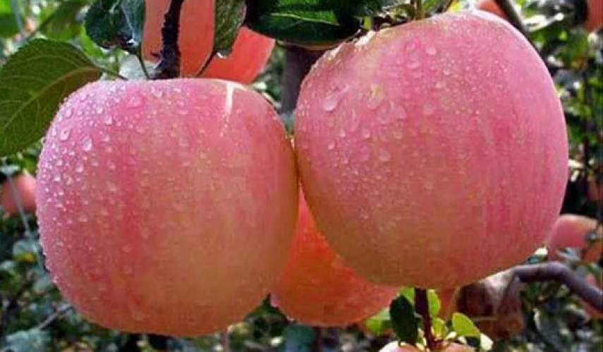 Белый налив яблоня: описание, фото, посадка, уход