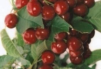 Вишня тамарис — «бронебойный» сорт
