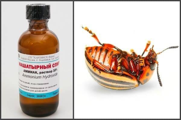 Как избавиться от колорадского жука на картошке навсегда: проверенные способы