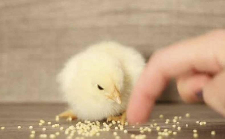 Как правильно и каким зерном лучше кормить кур
