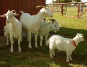 Содержание и уход за козами