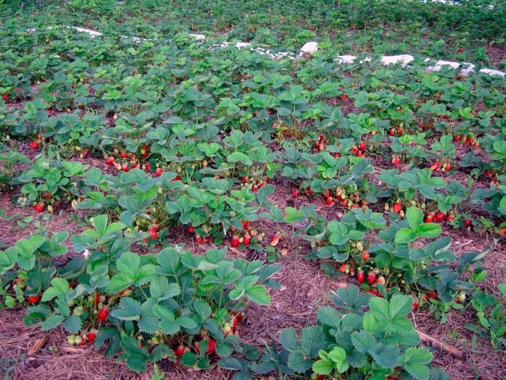 Выращивание клубники | как правильно выращивается клубника разных сортов (85 фото)