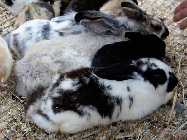Симптомы возникновения цистита у кролика и методы его лечения