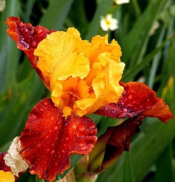 Уход за ирисами и посадка в открытом грунте осенью и весной: когда лучше сажать (пересаживать)