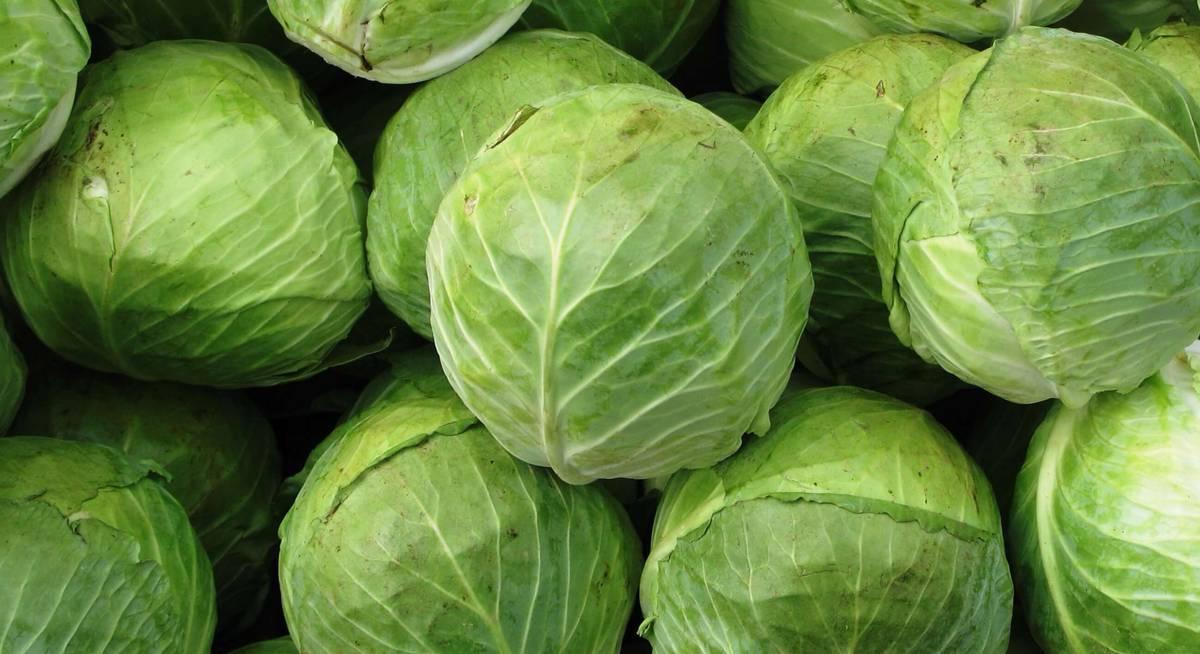 Сорта капусты белокочанной: топ 40 лучших видов с описанием и характеристиками