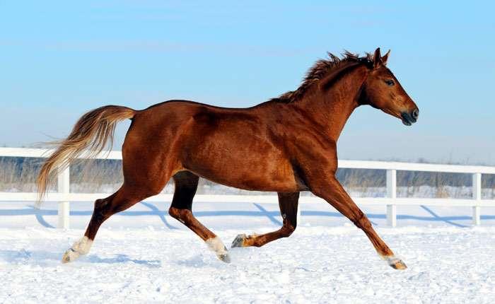 Ганноверская порода лошадей - характеристика породы, фото+видео