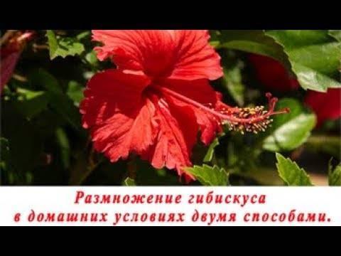 Гибискус: посадка и уход, фото цветка смерти, размножение в домашних условиях, как укоренить черенок весной и вырастить кустарник, как развести из семян и прививкой?