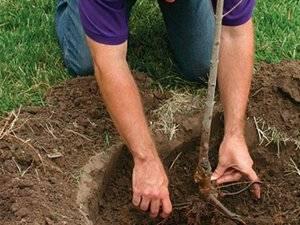 Правила и особенности посадки груши весной в средней полосе и других регионах россии