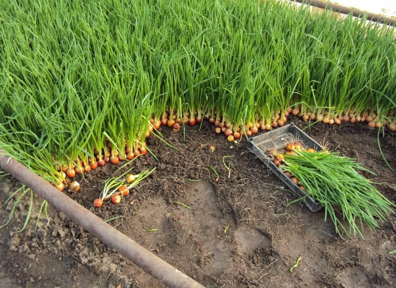 Как хранить лук севок в домашних условиях до посадки