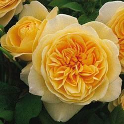 Роза шарлотта фото и описание отзывы