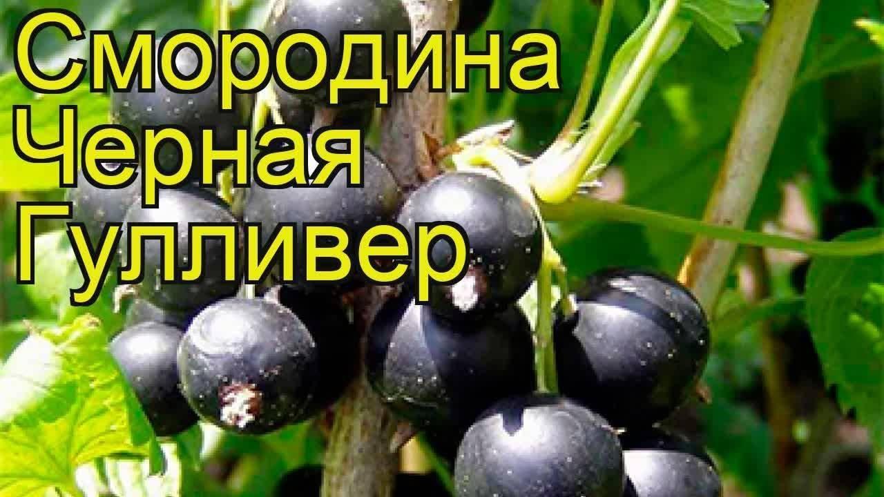 Сорт черной смородины «гулливер»