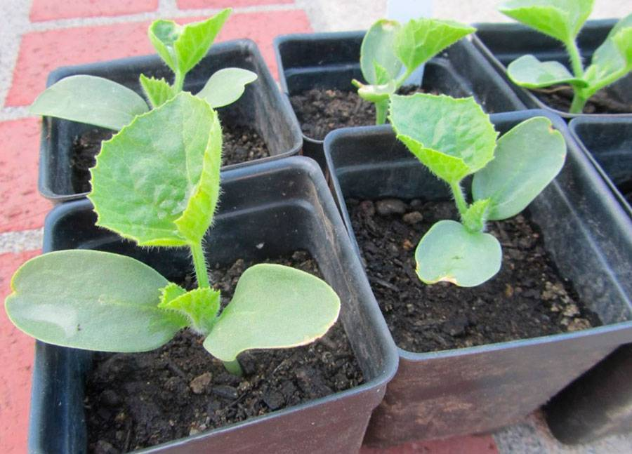 Как посадить дыню в открытый грунт: какие сорта подходят, как подготовить семена и ухаживать за рассадой