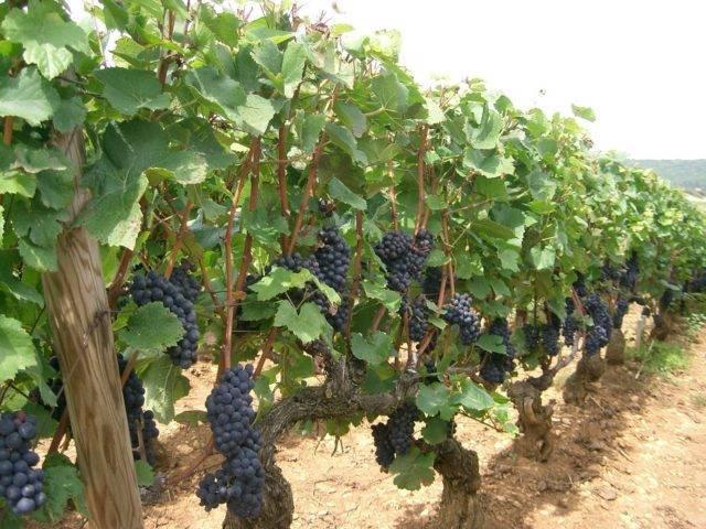 Какие препараты использовать в винограднике: фунгициды для винограда
