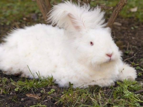 Ангорский кролик – фото, описание, содержание, питание, размножение