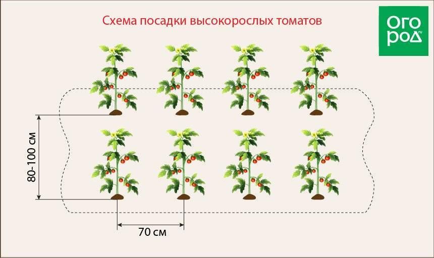 Посадка капусты в открытый грунт: как сделать правильно
