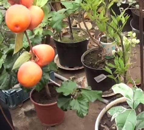 Можно ли выращивать хурму в квартире и как это правильно делать