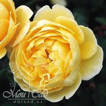 Сорта роз дэвида остина