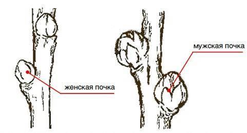 Облепиха мужская и женская отличие фото